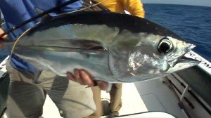 Fly Fishing for Black Fin Tuna in Key West, Florida with Capt. Tony Murphy.